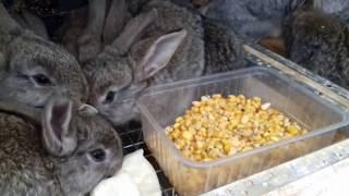 Кормление маленьких крольчат, чем и как кормить. Любимое блюдо кроликов