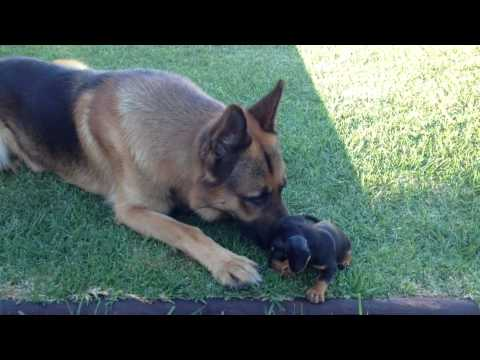 Our cute Dachshund puppy meets our German Shepherd for the First Time
