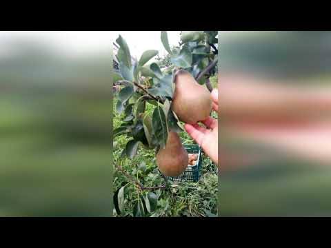 Груша Брянская красавица (часть 1)