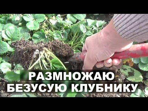 Ремонтантная клубника размножение   осенью