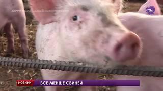 На Павлоградщині стали значно менше вирощувати свиней