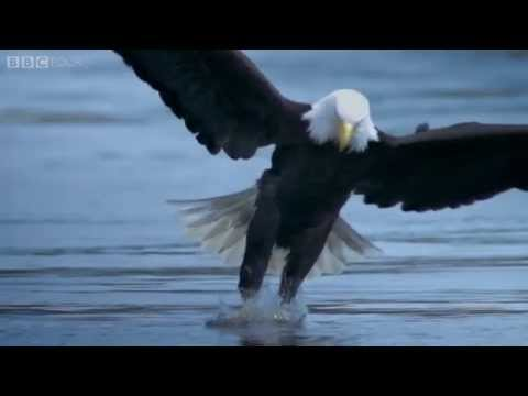 A bird of prey's deadly grip - The Wonder of Animals: Episode 12 Preview - BBC Four
