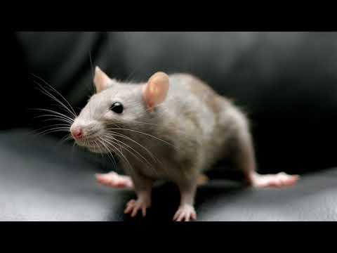 К чему снится крыса во сне женщине, мужчине?