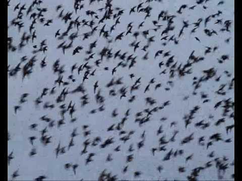 Incredible Flock of Starlings