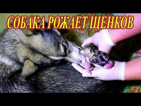 Хаски, Собака рожает щенков ✔