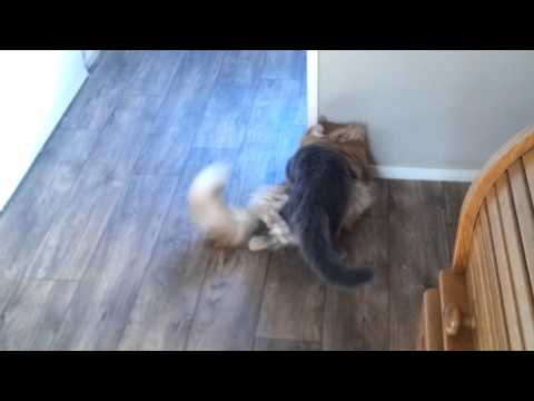 Norwegian forest cat versus Mainecoon