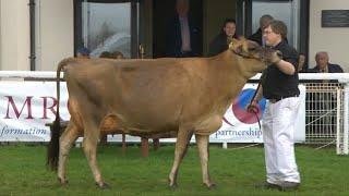 Pen Heffer Laeth Ifanc Rhan 1 | Dairy Heifer Championship pt 1