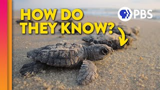 How Baby Sea Turtles Find Their Way Home