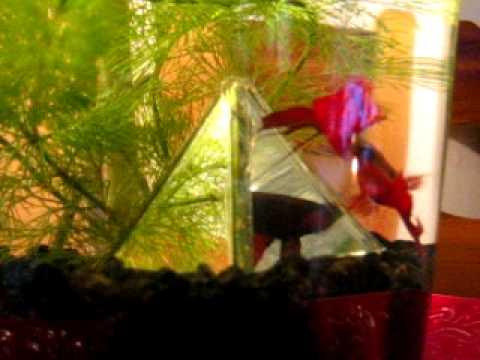 Fighting fish vs mirror youtube for Betta fish mirror