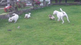 Bichon, Boxer, Jug Dog & West Highland Mooching.