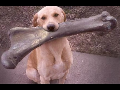 I CHALLENGE YOU NOT TO LAUGH - Funny DOG compilation
