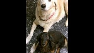 Summerlin-las Vegas Premier Pet Sitter Superstar Pet Services With Gage The Lab And Zoe The Doxie