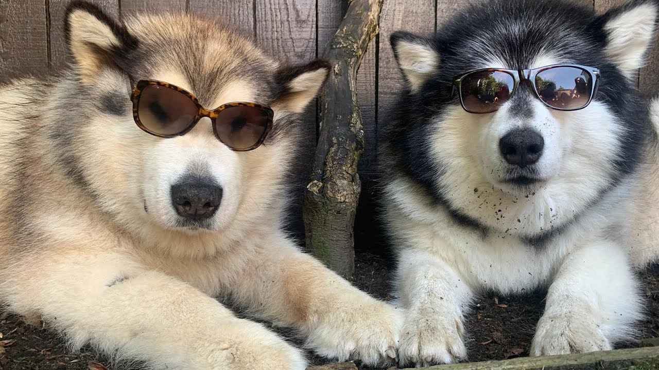 Dogs Wearing Sunglasses Male V Female (Even The Cat!!)