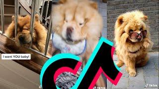 Cutest Chow Chow TikTok Compilation   Dogs Of TikTok
