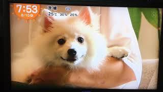 きょうのわんこ 日本スピッツ モンブラン ホワイトラボ犬舎 20170810 全...