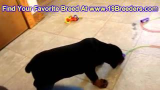 Doberman Pinscher, Puppies, For, Sale, In, Baltimore, Maryland, Md, Fort Washington, South Laurel, R