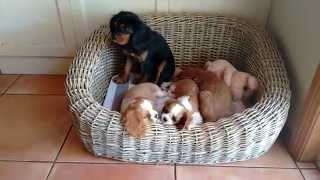 Cavalier King Charles Spaniel Puppies 2015
