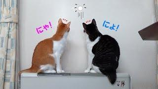 猫の上下運動(笑) 光玉を追いかける猫姉弟 「みや&ジオ」