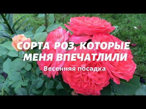 Rose//Сорта роз, которые меня впечатлили//Varieties of roses that impressed me