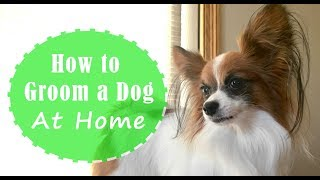 How to Groom a Dog at Home// Brushing, Bathing, and Trimming // Percy the Papillon Dog