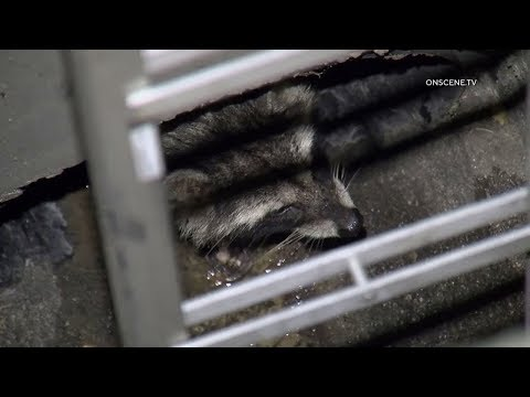 Firefighters Reunite Baby Racoon With Its Mother In Thousand Oaks