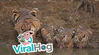 Gorgeous Mama Tiger and Cubs Take a Drink || ViralHog