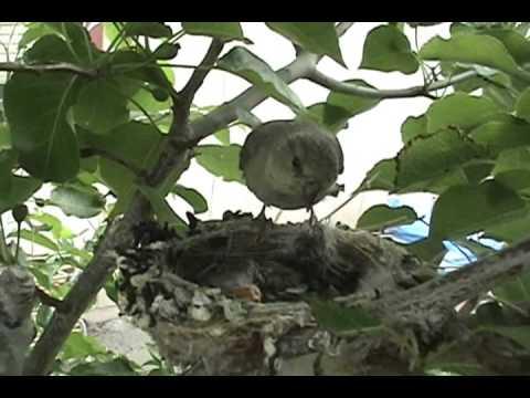 Certified Wildlife Habitat Backyard Bird Nest Watch Mom