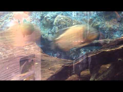 ปลาปิรันยา ตัวเป็น ๆ ในกรุงเทพ