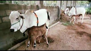 Baixar PURE DESI COWS for sale of ONGOLE RAJ