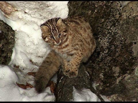 фото кота лесного