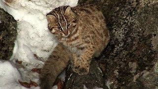 """""""Зов тайги"""" №17 Лесной кот"""