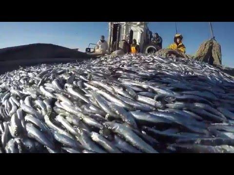 Рыбаки на рыбацком ПТР вышли в путину за хамсой Новороссийск