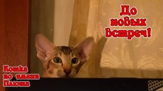 Минута из жизни кошки Плюши. Ориентальная кошечка.