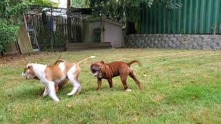 AKC STAFFORDSHIRE BULL TERRIER Puppies playing, 5 mths old