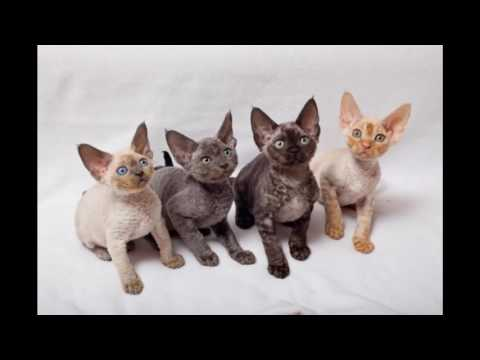 Devon Rex Cat and Kittens | History of the Devon Rex Cat Breed