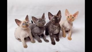 Devon Rex Cat and Kittens | History of the Devon Rex Cat Breed