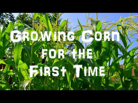 Growing Sweet Corn for the First Time