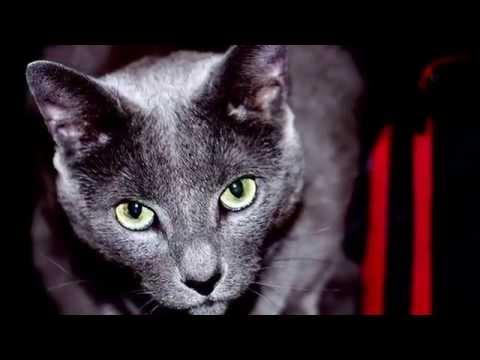 My Murphy Blue - Russian Blue Cat
