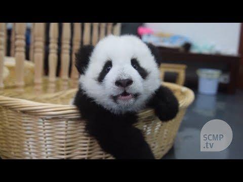 Save the pandas: panda nannies help to raise newborns