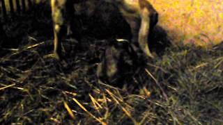 Koza anglonubijska Jaspis | www.koziebrody.com.pl