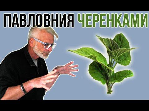 ПАВЛОВНИЯ / Размножение зелёными черенками / Игорь Билевич