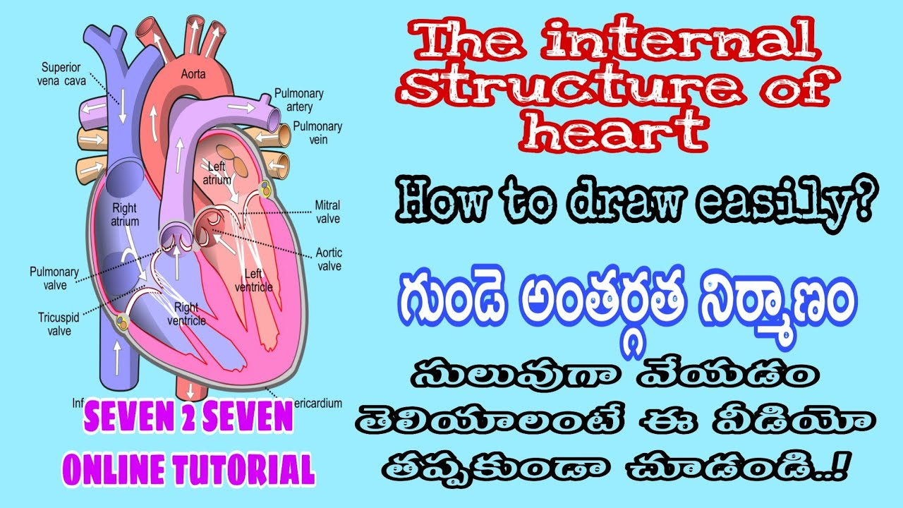 HEART DIAGRAM - Easy to draw the internal structure of ...