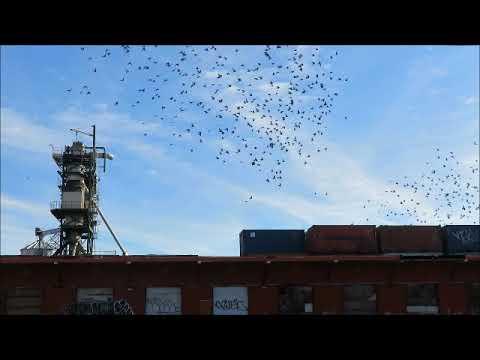 Réaction des pigeons