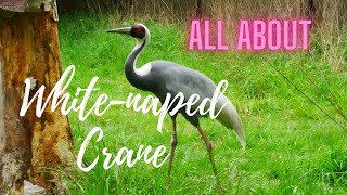 Whitenaped Crane  large bird, with pinkish legs, a greyandwhitestriped neck, red face patch
