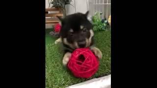 ペットショップ 犬の家 倉敷店 「柴」「81012」 thumbnail