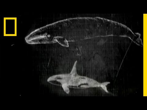 Whale Attack | National Geographic