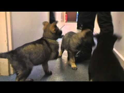 Police Pups In Training 2012 - 'New Kids On The Block' - Ava, Misty, & Merlin (Cumbria Police)