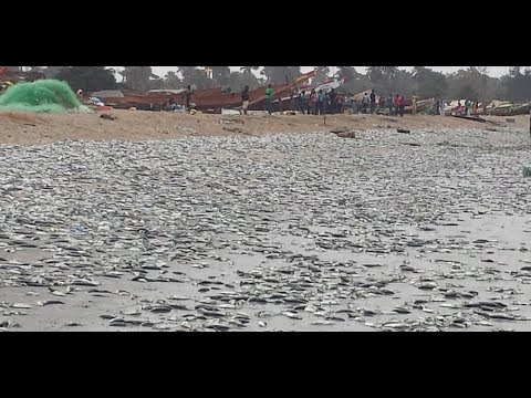 Chinese Fish Meal Processing Factory Golden Lead Is Destroying Gambia.