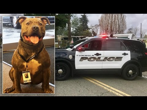Thumbnail: Abandoned Pit Bull On the Verge of Euthanization Gets 2nd Chance as Police Dog