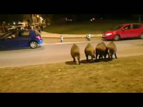 Cuatro jabalíes en la Avenida Infanta Elena, en Lugo